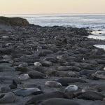 Słonie Morskie Północne