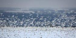 Padło kilka tysięcy gęsi śnieżnych które wylądowały w zbiorniku pełnym metali ciężkich - wlaczoszczedzanie.pl - Flickr / @ Seabamirum / CC BY 2.0