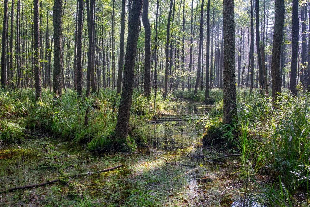 Puszczy Białowieska posiada ogromne wartości przyrodniczej. Może być określana lasem starożytnym