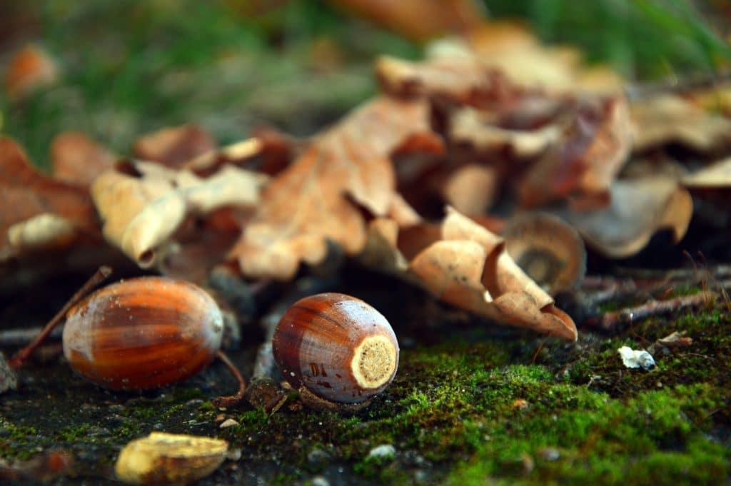 Drzewa określonych gatunków mogą synchronizować tworzenie nasion nawet na całym kontynencie