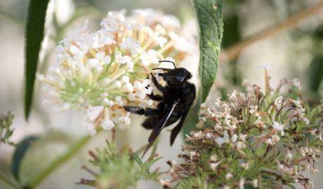 W Polsce coraz częściej można spotkać rodzimą modliszkę albo uznaną za wymarłą czarną pszczołę
