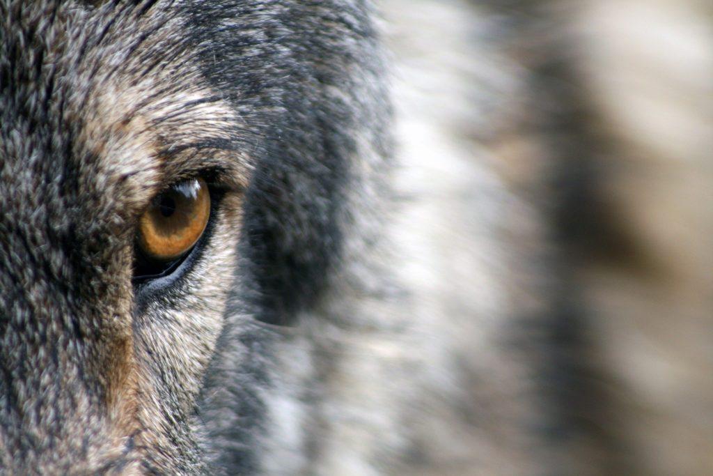 Polska była jednym z pierwszych państw w Europie który zdecydował się na pełną ochronę wilków